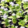 Агератум: посадка та вирощування