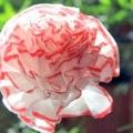 Аплікація з серветок: квіти своїми руками
