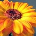 Квітка гербера: догляд в домашніх умовах