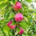 Як правильно обрізати яблуню молоду, стару, відео