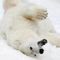 Чому білі ведмеді - білі?
