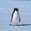 Чому білі ведмеді не їдять пінгвінів?