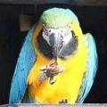 Чому сверблять папуги?