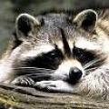 Чому єнота називають полоскуном?