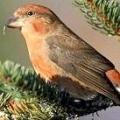 Чому клести виводять пташенят взимку?