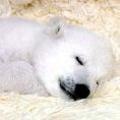 Чому ведмідь взимку спить?