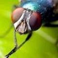 Чому мухи труть свої лапки?