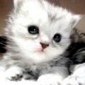 Чому муркочуть кішки?