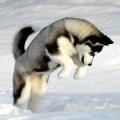 Генетика поведінки собак