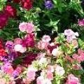 Чому пахнуть квіти?