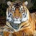 Чому у тигра є смужки?
