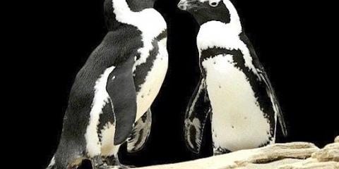 Два гомосексуальних пінгвіна протягом восьми років були парою