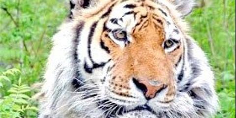 Де живе амурський тигр