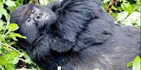 Де живе гірська горила