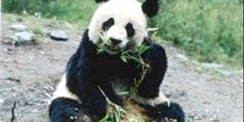 Де живуть панди