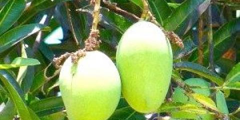 Як їсти манго