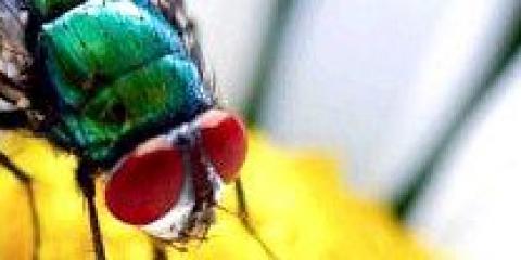 Як позбутися від мух в домашніх умовах