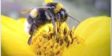 Як бджоли лікують варикоз?