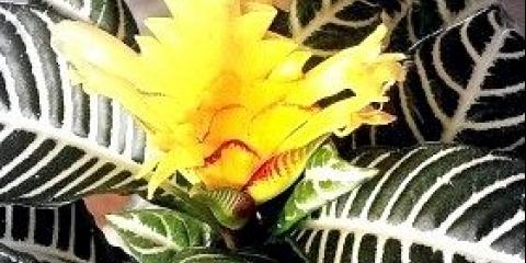 Кімнатна квітка афеландра: догляд в домашніх умовах