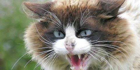 Кішки нявкають тільки для залучення уваги людини