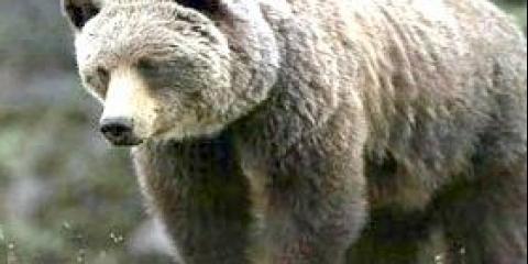 Ведмідь грізлі - де живе