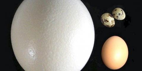Страус відкладає одночасно найбільші і найменші яйця серед птахів
