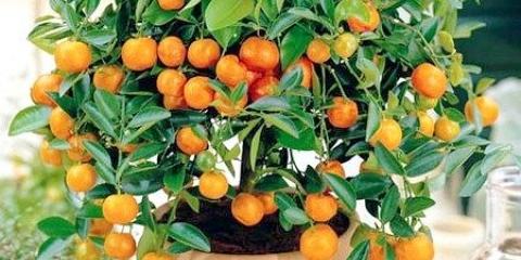 Як виростити апельсинове дерево вдома на підвіконні