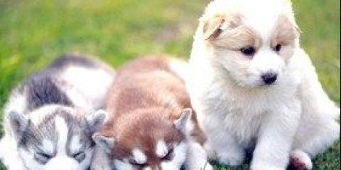 Спілкування собак за допомогою специфічних запахів і рухів тіла