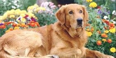 Органи чуття собаки