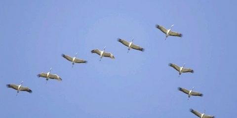 Птахи літають клином щоб використовувати завихрення повітряних потоків