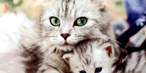 Які ознаки вагітності у кішок?