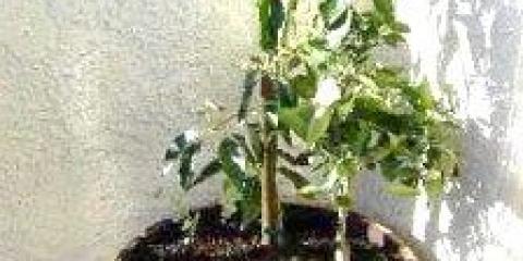 Як посадити авокадо з кісточки будинку
