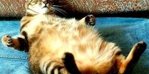 Скільки триває вагітність у кішки?